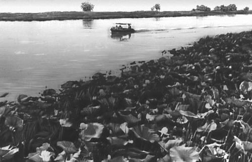 Волга заросли каспийского лотоса в