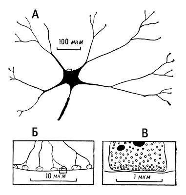 Схема строения синаптических