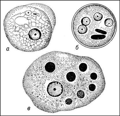 Жизненный цикл дизентерийной