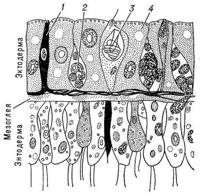Стенка тела гидры (продольный
