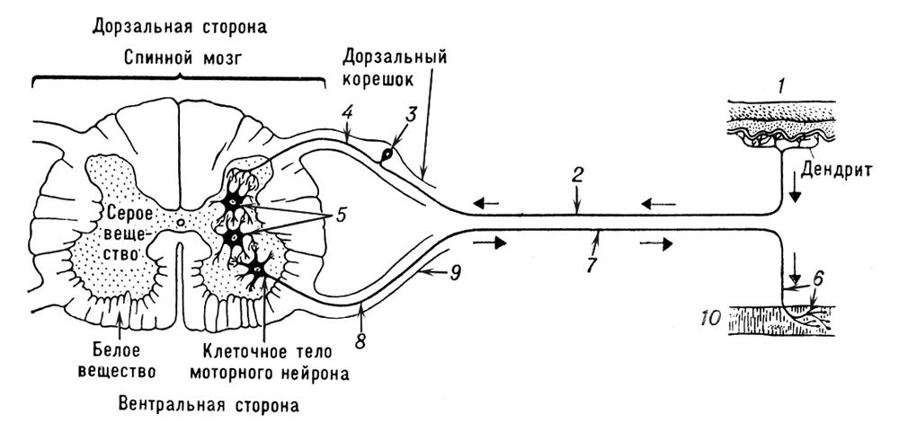 Импульс Нервный фото