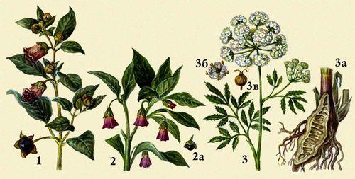 Ядовитые растения 1 красавка