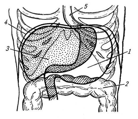 Желудок человека (схема)