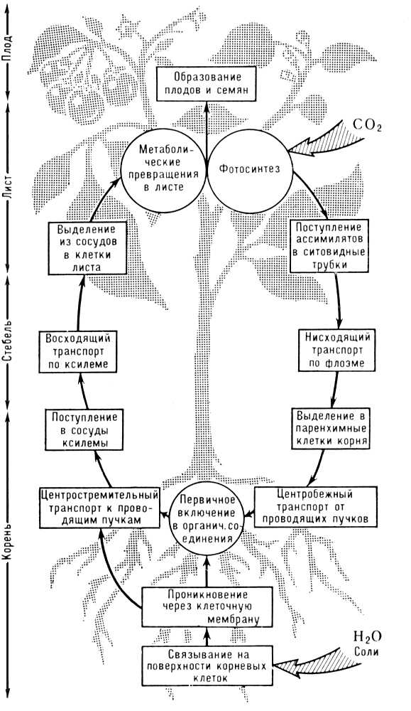 Круговорот веществ в растении