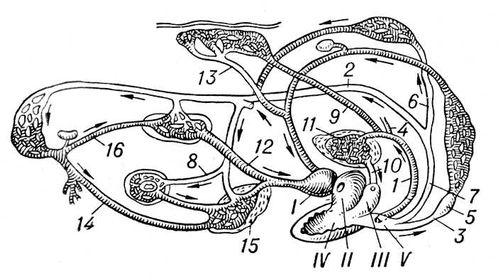 Кровеносная система лягушки