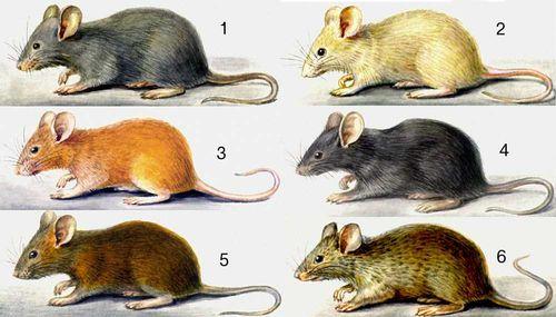 Мутации окраски шерсти у домовой мыши