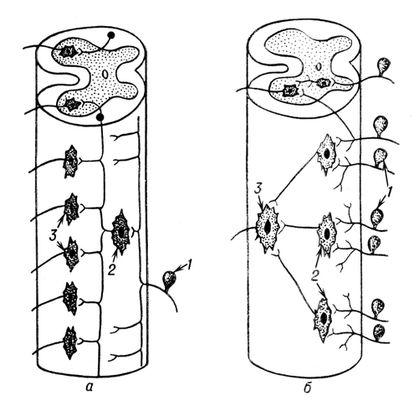 Рефлекторная дуга спинального
