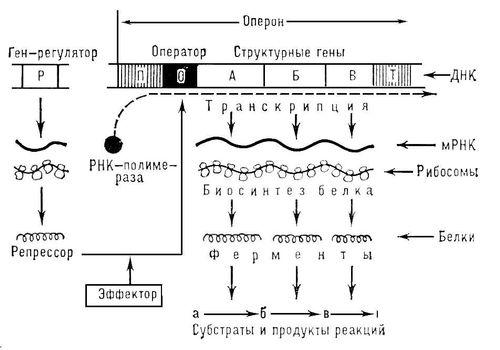 Регуляция биосинтеза
