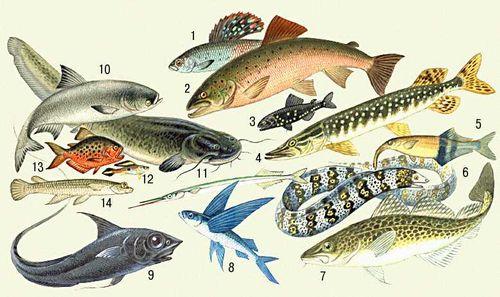 Внутренние органы рыба налим