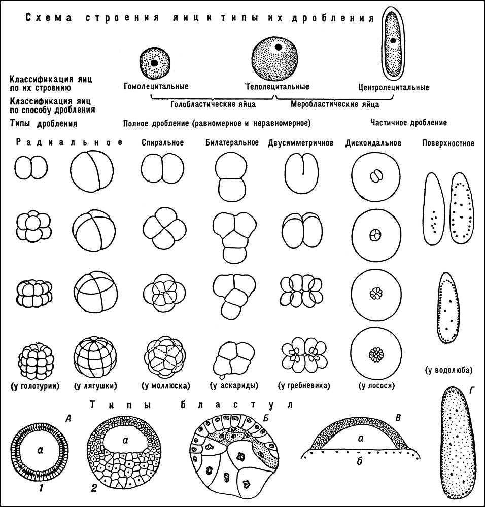 схема строения человека фото